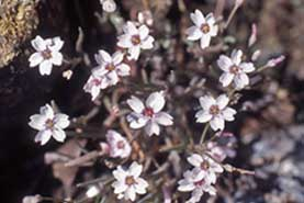 Claytonia gypsophiloides